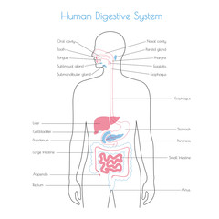 Vector isolated illustration of digestive system