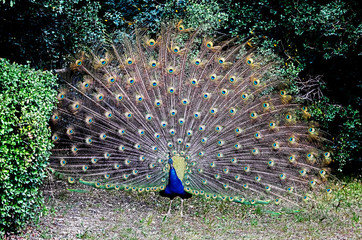 Peacock male spreading his tail