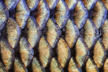 Big wild carp fish pattern textured skin scales macro view. Photo golden scaly textured pattern. Selective focus, shallow depth field.