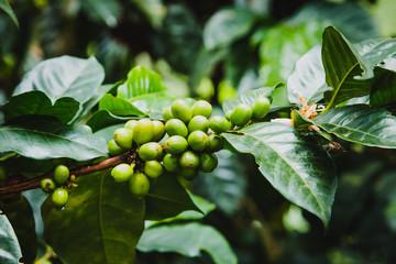 Kaffeepflanze auf einer Kaffeefarm in Kolumbien bei Salento