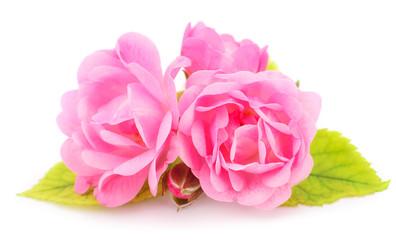 Pink rose flower.