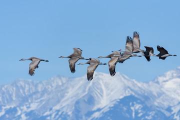 Flight of Sandhill Cranes With the Sangre de Cristo Mountains as a Backdrop Fotoväggar