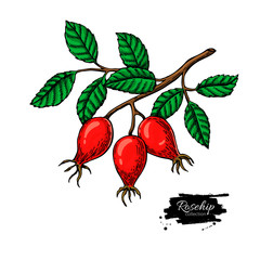 Rosehip vector drawing. Isolated berry branch sketch on white background.  Summer fruit
