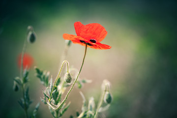Red poppy flowers over natural background