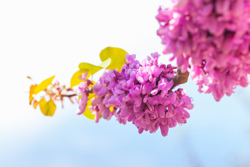 Wall Mural - Pink Cercis siliquastrum flowers on a branch