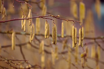 Blütenkätzchen der Haselnuss