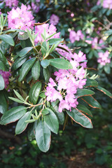 Beautiful Rhododendron flowers in spring park.