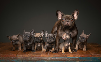 Foto op Plexiglas Franse bulldog Litter of French Bulldog puppies with mom