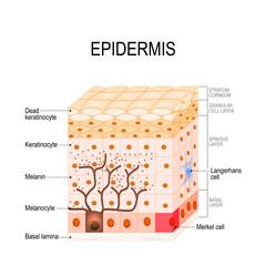 epidermis structure