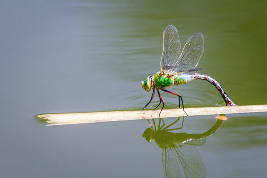 The emperor dragonfly (Anax imperator), a large species of hawker dragonfly of the family Aeshnidae, insect on a lake in a close-up view.