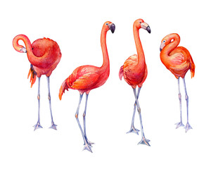Set cute pink flamingos. Collection tropical pink flamingo bird (flame-colored) in different poses. Hand drawn watercolor painting illustration isolated on white background.
