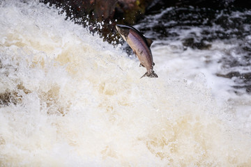 Leaping Atlantic salmon (salmo salar).