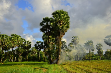 The rice field view has a large tall palm tree and green rice fields and bright sky.