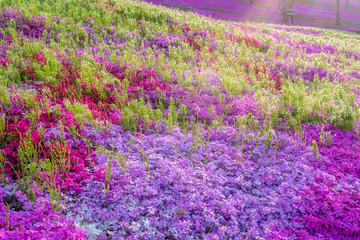 Hokkaido moss phlox Takigami park   北海道 芝桜滝上公園5