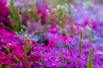 Hokkaido moss phlox Takigami park   北海道 芝桜滝上公園6
