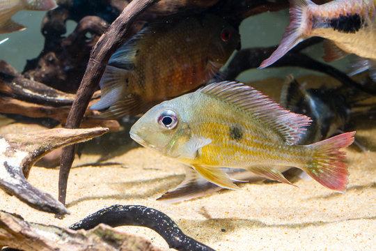Geophagus winemilleri a tropical fish
