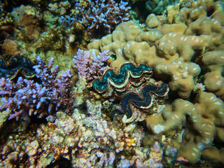 Underwater colorful photo of coral reef and tridacna giant clam