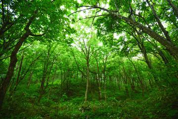 世界遺産 白神山地の森
