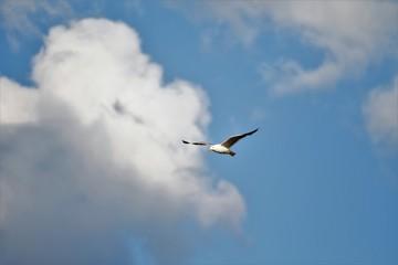 bird gull flying in blue sky