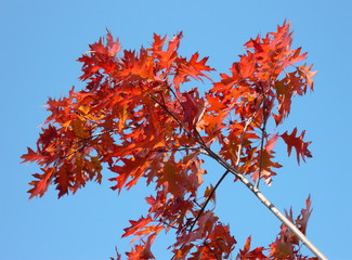 red maple at autumn