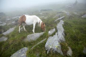Horse grazing on the stony slope of La Rhune mountain in the fog