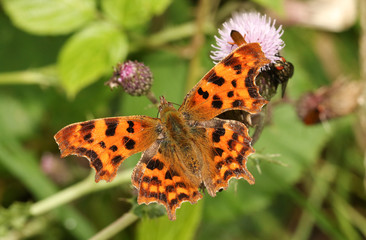 A beautiful Comma Butterfly (Polygonia c-album) nectaring from a thistle flower.