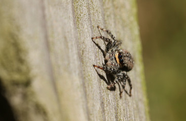 A  fencepost Jumping Spider (Marpissa muscosa) hunting on a wooden fence.