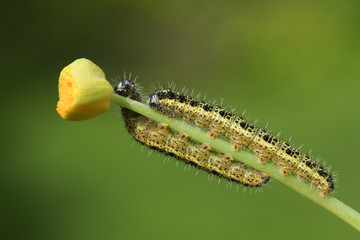 Two Large White Butterfly Caterpillar (Pieris brassicae) feeding on a plant.