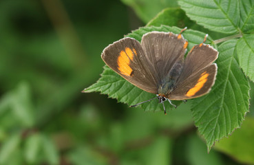 A rare Brown Hairstreak (Thecla betulae) perched on a leaf .