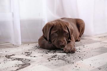 Fototapeta Chocolate Labrador Retriever puppy and dirt on floor indoors