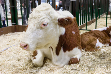Cow. Kazakh white-headed breed. One of the best breeds of cows of the meat direction of productivity is the Kazakh white-headed. Head, chest, tassel of the tail and limbs are white in color. The body