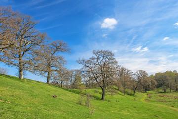 Big oak tree on a hill in a beautiful landscape in spring