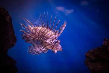 Close up image of a lion fish in an aquarium