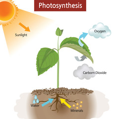 A diagram showing how photosynthesis works on plants