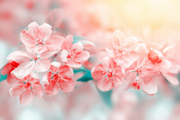 Pink cherry flowers blossom on tree in spring. Nature beautiful floral pastel background with flowering plant.