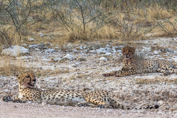 Cheetah lying in steppe of Etosha Park, Namibia