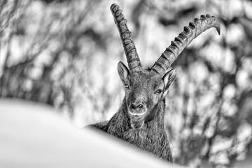 Ritratto in bianco e nero di stambecco delle Alpi (Capra ibex)