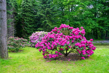 Canvas Prints Azalea Beaufort blooming azalea - rhododendron (Rhododendron) - beautiful green areas of the city