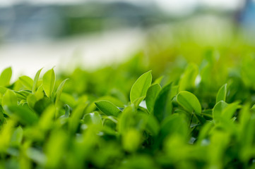 Top green tea leaves of soft tea leaves Nature travel ideas With copy space
