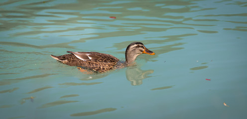 Female duck is swimming in a river, blue water and blurry copse