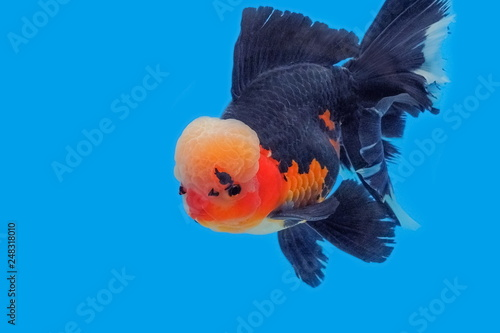 Learn These Thai Oranda Goldfish {Swypeout}