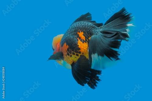 Beautiful Orange-Black Color of Oranda Goldfish (Carassius