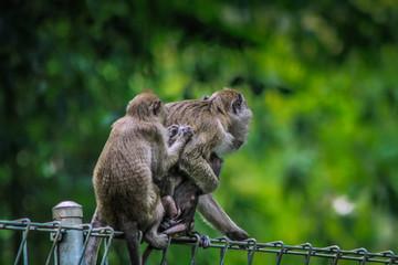 Macaca fascicularis Crab-eating macaque Indonesian monkey