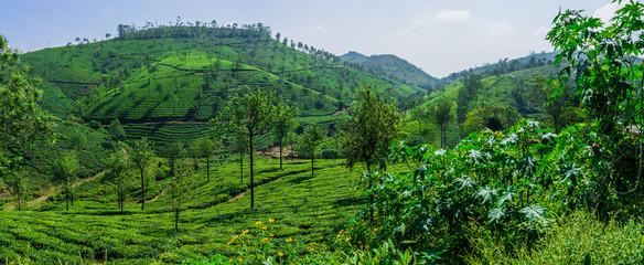 Teeplantage, Teefelder