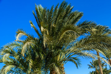 Green date palm tree against the blue sky