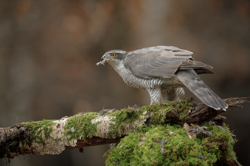 Northern goshawk with a beak full of feathers