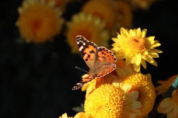 KRIMEA Nikitsky Botanicai garden is the parade of chrysanthemums
