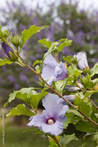 Blue Hibiscus And Chaste Tree Stock Photo And Royalty Free Images