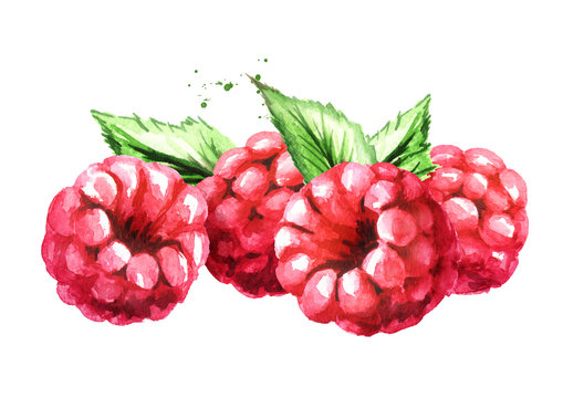 Raspberry. Watercolor hand drawn illustration, isolated on white background
