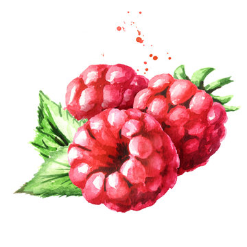 Red ripe Raspberry. Watercolor hand drawn illustration, isolated on white background